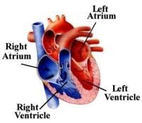 heart chambers.jpeg