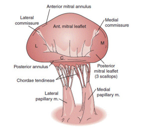 mitral-valve-leaflets